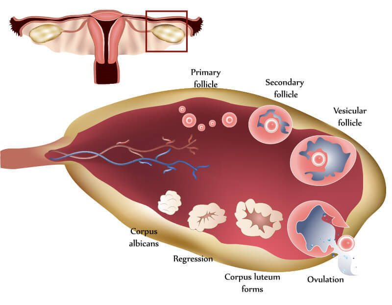 when do one ovulate on a 28 day cycle