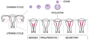 when do you ovulate after your period