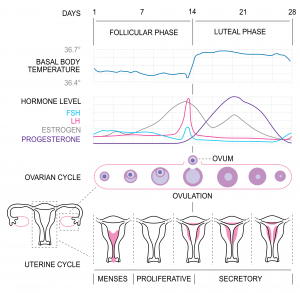 Ovulation and Temperature